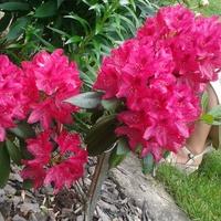 Amarantowy rododendronik