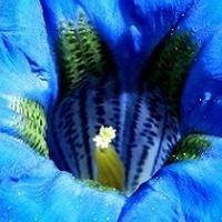 Błękitne gardziołka;)