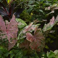 caladium hybridum - O. Botaniczny w Krakowie