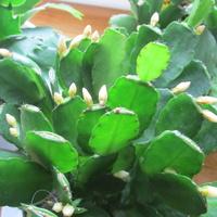 Kaktus wielkanocny biały rhipsalidopsis