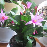 kaktus wielkanocny różowy