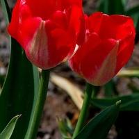 Majowe tulipany
