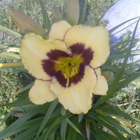 Mój najnowszy liliowiec