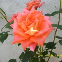 Pierwsza z moich róż