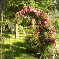 Róża mojej babci u mnie w ogrodzie...