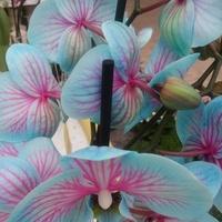 Storczyk, Storczyki, Orchidea