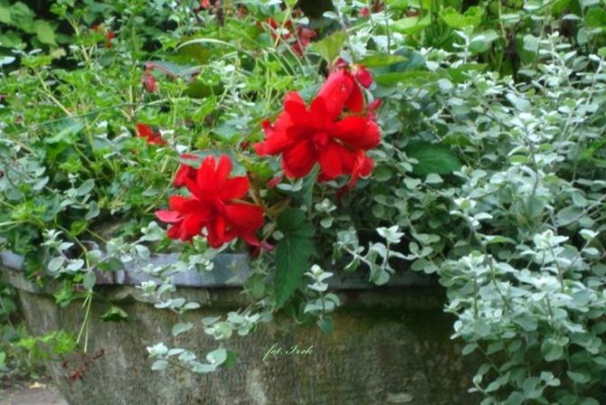 Kwiaty w Nieborowie, z bliska.