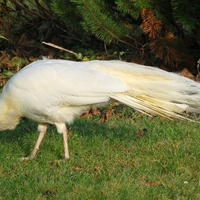 Biały paw na trawie.