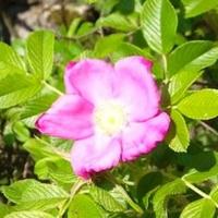 Dzika róża ;)