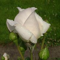 Jedna z moich róż.