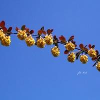 Kwitnąca gałązka berberysu
