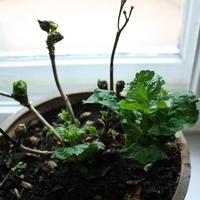 Mini hortensja szykuje się na wiosnę :)