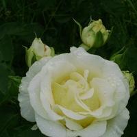 Róża Fryferyk Chopin