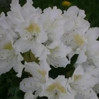To mój drugi rododendron.
