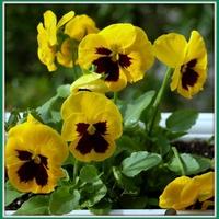 Żółte bratki