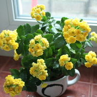 Żółty kalanchoe :)