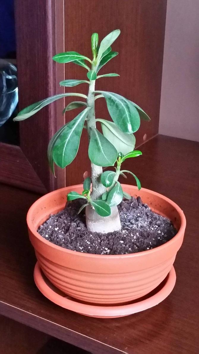 Adenium - Z nasionka, ma prawie 2 lata.. (^^,)