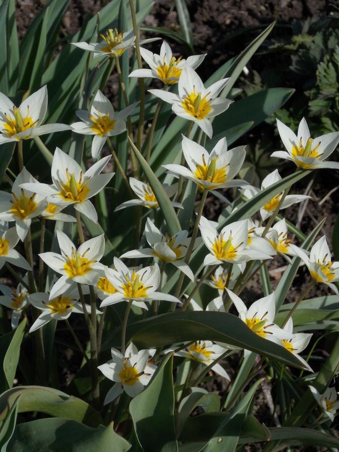 Pierwsze tulipanki:)