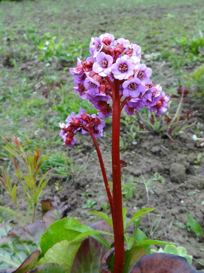 Skromny kwiat Bergeni