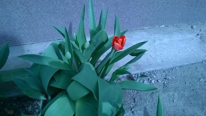 Tulipanik pod moim oknem :)