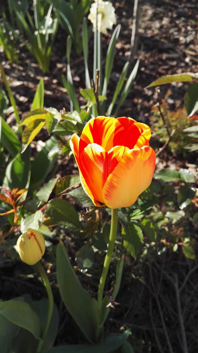 tulipanowe pozdrowienia