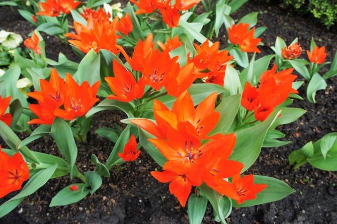 Tulipany ...