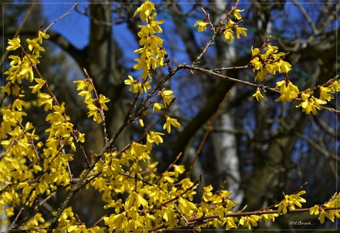 Złoty krzew...