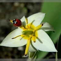 Gość pierwszego tulipanka:)