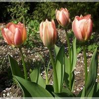 Kolejne tulipany...
