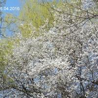Kwitną drzewa owocowe,Śliwka Mirabelka