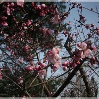 Kwitną morele...:)