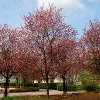 Kwitną rajskie jabłonie