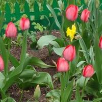 Kwitną tulipany na moim osiedlu