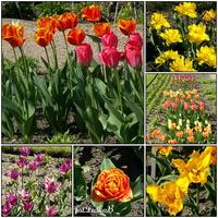 Kwitną tulipany