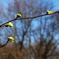 Leszczynowiec chiński odm. łysiejąca.