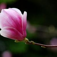 Magnoliowa fajeczka