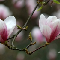 Magnoliowy żyrandol.