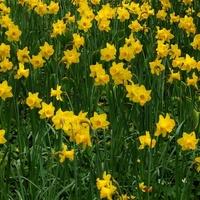 Narcyzy wiosenne