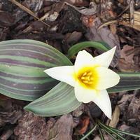 pierwszy tulipan w ogródku