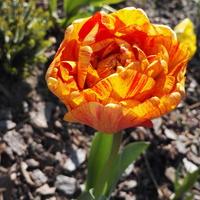 Pomarańczowy tulipan :)