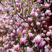 Róż magnolii w dzisiejszym słonku