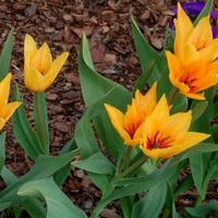 Tulipan dostojny