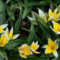 Tulipan późny