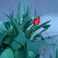 Tulipanik Pod Moim O
