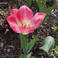 tulipanowe uśmiechy