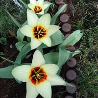 Tulipany :-)
