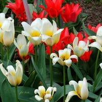 Tulipany ogrodowe.
