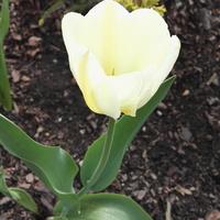 tulipany tulipany