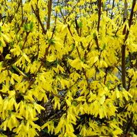 Wiosna-kwitnie forsycja