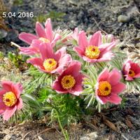 Wiosna,kwitną sasanki